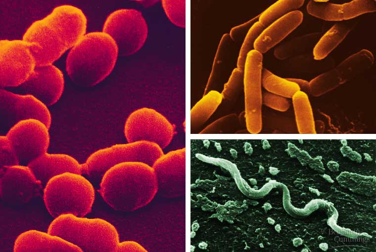 an overview of the bacteria organisms in biology