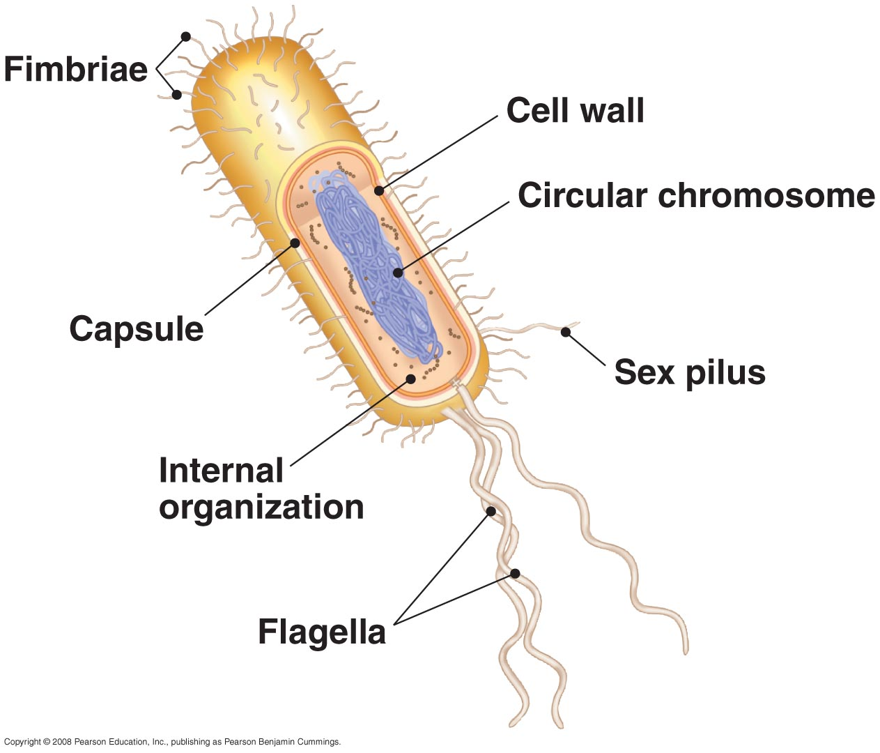 bio cell summary Animal cells tend to have fewer and larger golgi apparatus  without a golgi  apparatus the cell will not function summary the golgi apparatus is a critical.