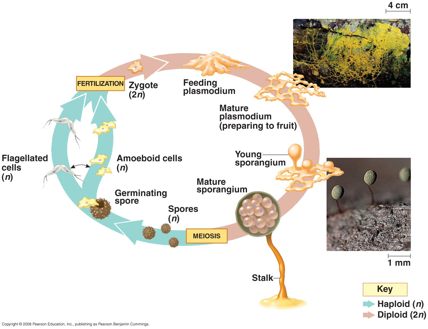 Microbes in Stromatolites furthermore Index likewise 1225 besides Asexual Reproduction in addition Protista. on cyanobacteria diagram labeled