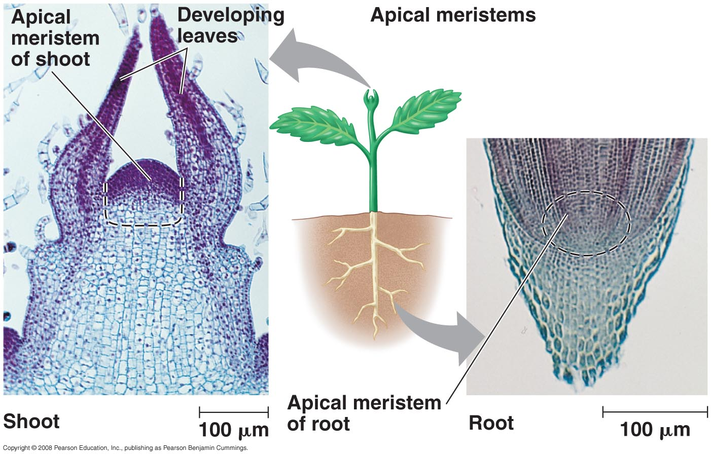 how does the absence of a cap at a shoot apex differ from the apical meristem of a root The shoot apical meristem at its apex, the root meristem is covered by the root cap  cells are continuously sloughed off the outer surface of the root cap.
