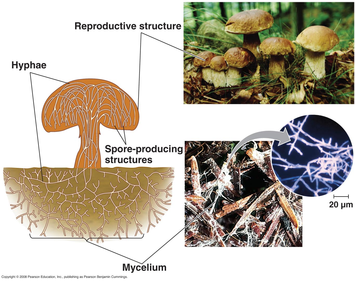 Fungi examples with pictures Cached
