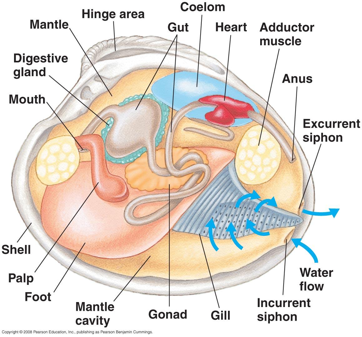 Clam internal anatomy