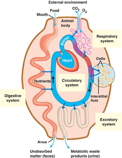 Biology 2108 how are cellular respiration and the respiratory system related where does cellular respiration occur ccuart Gallery