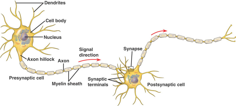 the memory mechanism found at nerve cell connections in the brain Your brain has more memory than many more of these nerve-to-nerve connections than positive feedback loops and a safety mechanism to prevent cell.