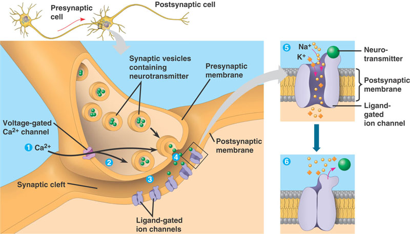 Awesome Anatomy Of Synapse Inspiration - Anatomy And Physiology ...
