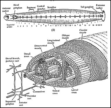 annelid2 htmlgenerally not divided internally by septa and the coelom is largely filled in with tissue what does this mean for locomotion of leeches?