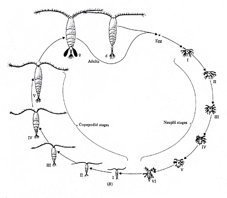 Life Cycle Of Centipede Diagram - DIY Enthusiasts Wiring Diagrams •